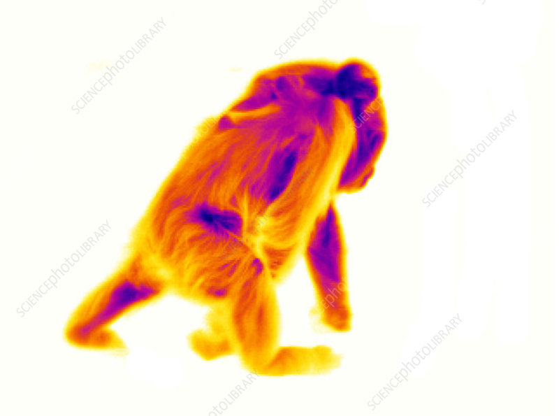 Ape carrying young, thermogram