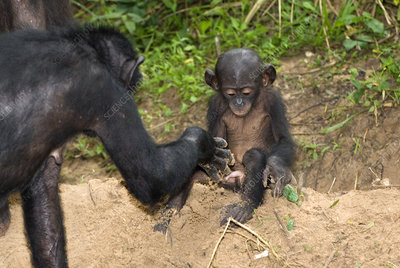 Infant bonobo ape and mother