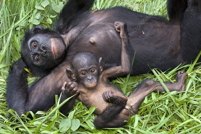 Bonobo ape mother and young