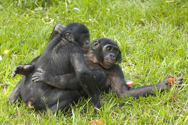 Bonobo apes mating - Stock Image Z912/0185 - Science Photo ...