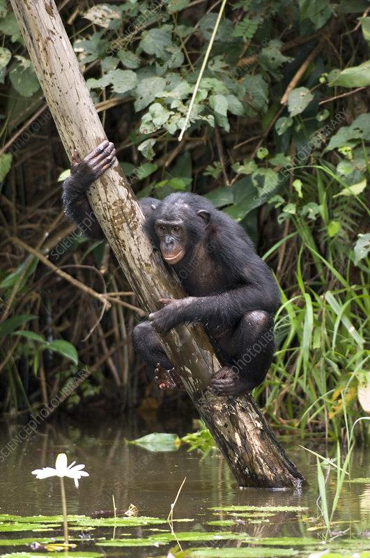 Bonobo ape