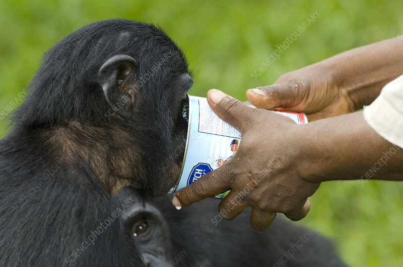 Bonobo ape being hand-fed