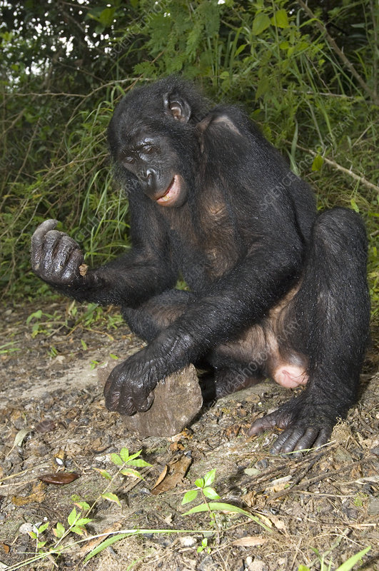 Female bonobo ape