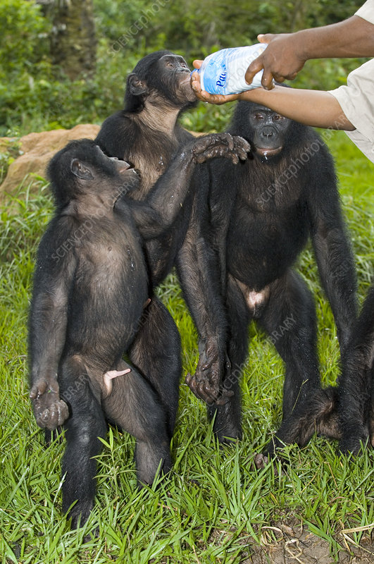 Bonobo apes being hand-fed