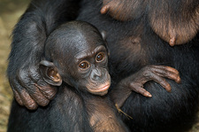 Bonobo ape infant
