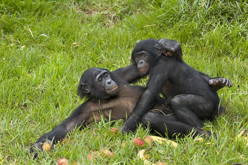 Bonobo apes mating