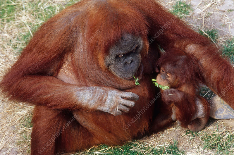 Mother and baby Orangutans nibbling greens