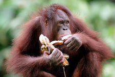 Orangutan eating bananas