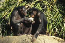 Bonobos Enjoy a Melon