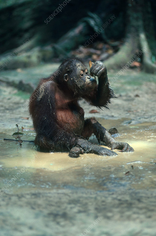 Orangutan Drinking with Leaf