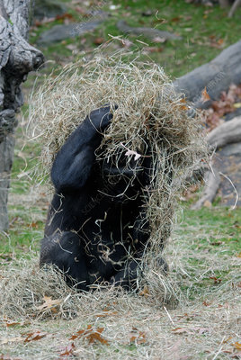 Western Lowland Gorilla playing with hay