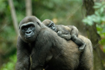 Gorilla mother with young on her back