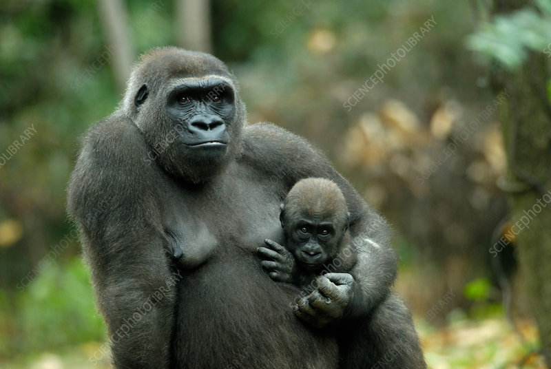 Western Lowland Gorilla mother with young