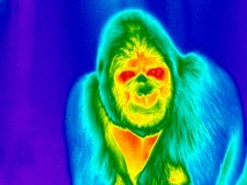 Gorilla, thermogram