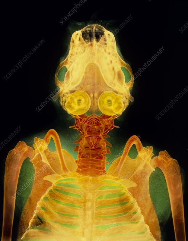 http://www.sciencephoto.com/image/385260/large/Z9150009-Bat_skull,_X-ray-SPL.jpg