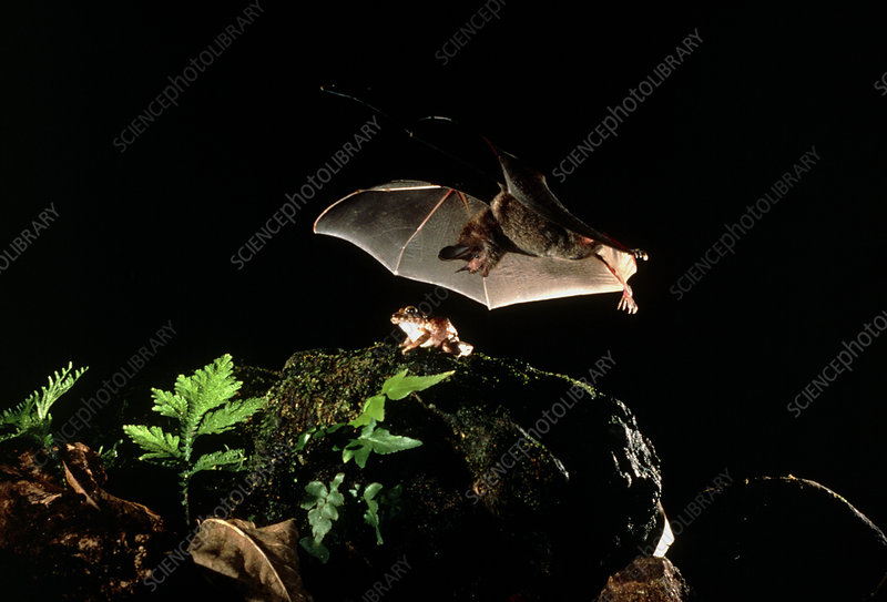 Frog-eating bat
