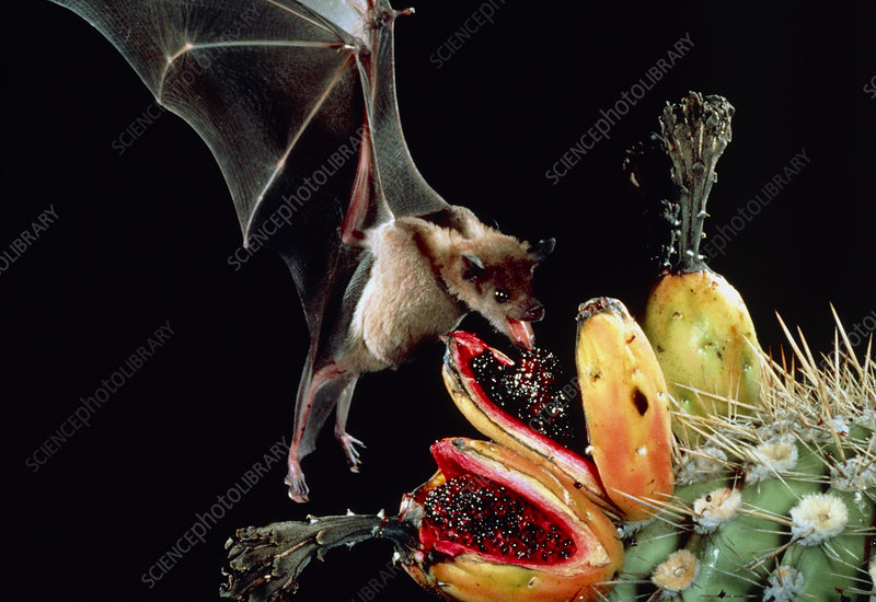 Long-nosed bat feeding