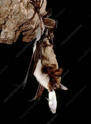 Mexican fishing bat