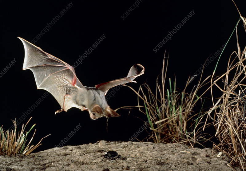 Heart-nosed bat