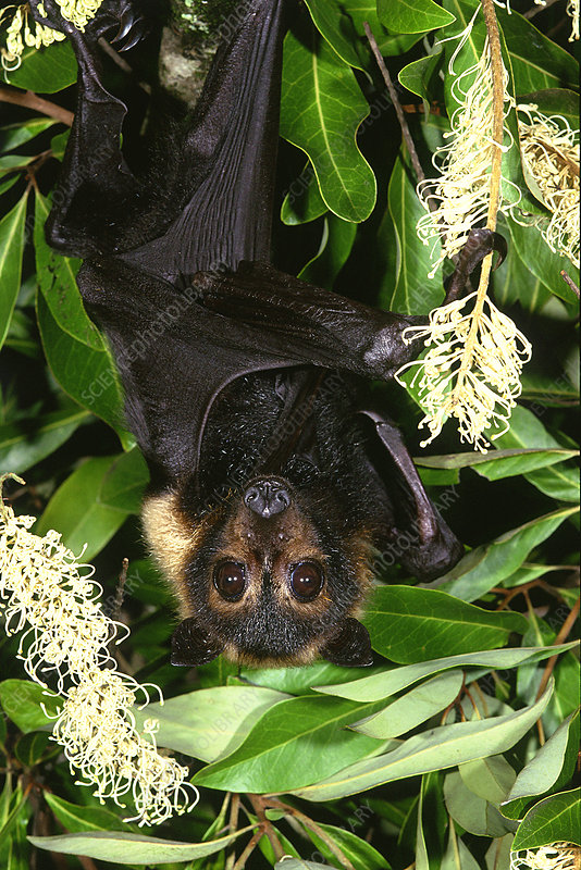 Spectacled Flying Fox Bat
