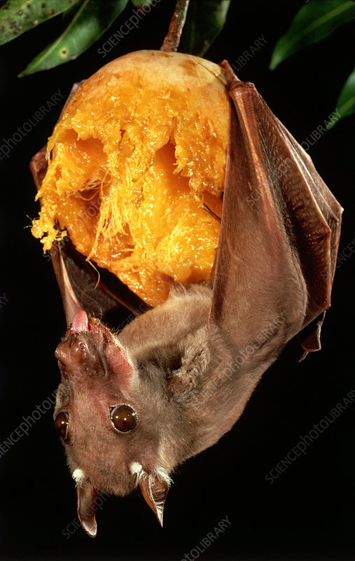 Epauletted Fruit Bat with mango