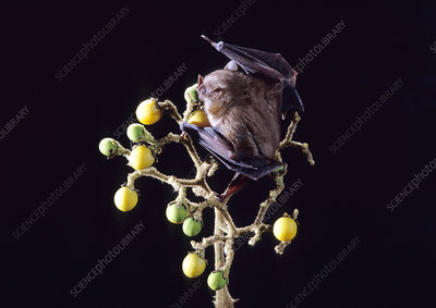 Toltec Fruit-eating Bat