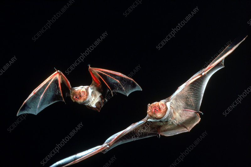 Red Bats in flight