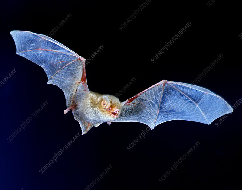 Albino Brown Bat (Myotis lucifugus) in Flight