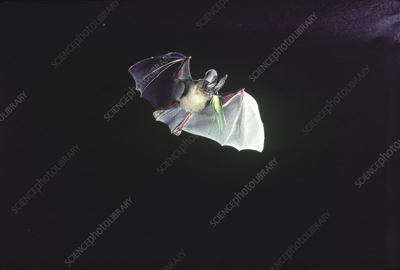 DOrbignys Round-eared Bat in flight w/prey