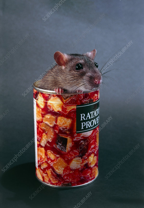 Rat peeping out of a tin of ratatouille