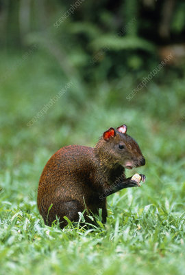 View of an agouti (Dasyprocta leporina) feeding