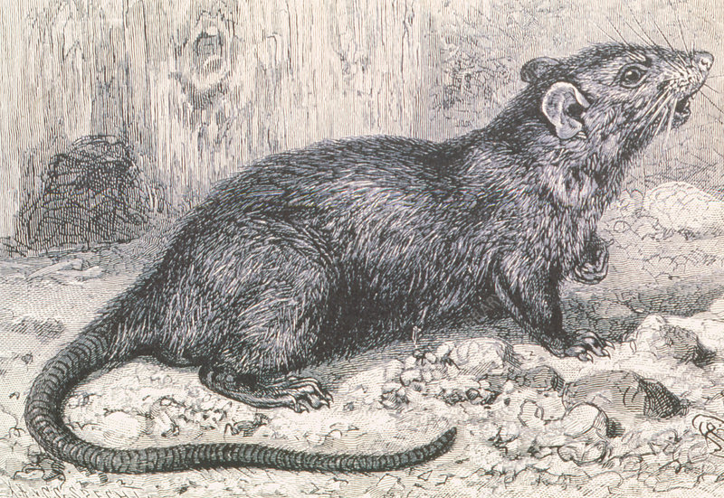 Historical artwork of a black rat, Rattus rattus