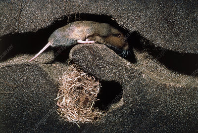 Cut-away view of Botta's pocket gopher in a burrow