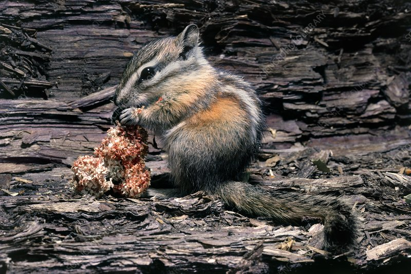Lodgepole chipmunk (Tamias speciosus) eating seeds