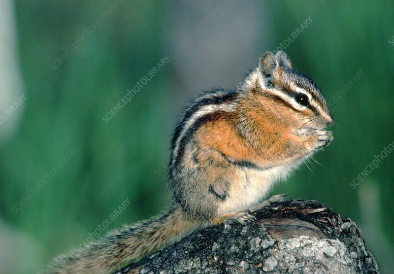 View of a chipmunk (Tamias sp.) eating seeds