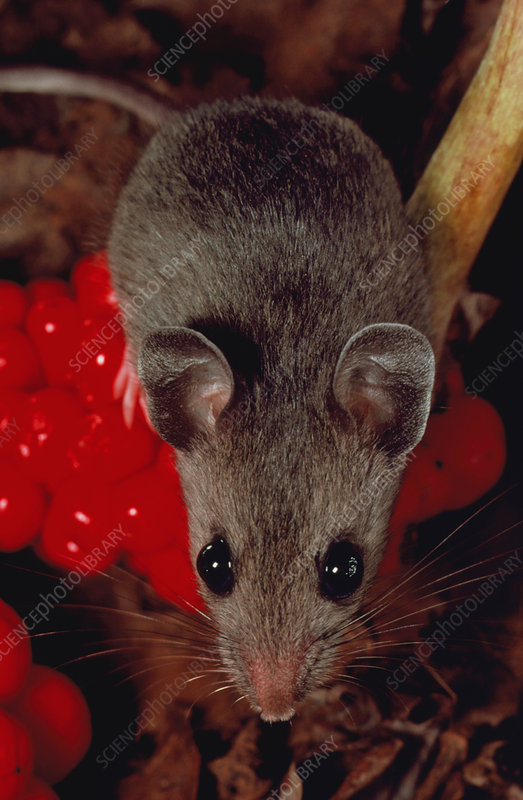 White-footed mouse (Peromyscus leucopus)