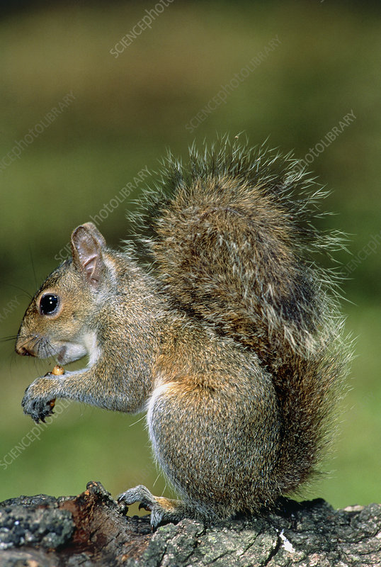 Grey squirrel (Sciurus carolinensis) feeding