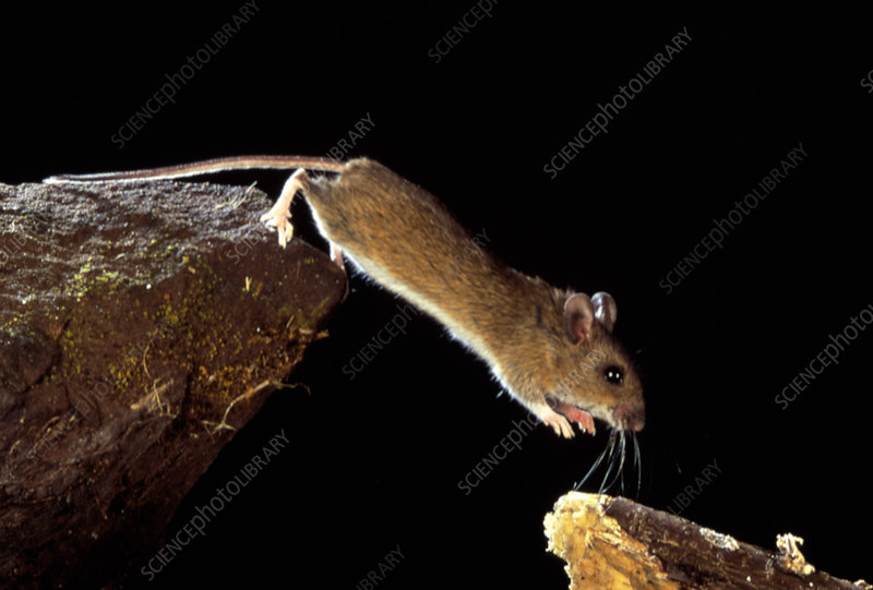 Wood mouse leaping