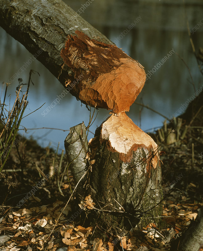 Beaver-felled tree