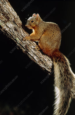 Apache fox squirrel