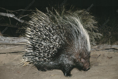 South African porcupine