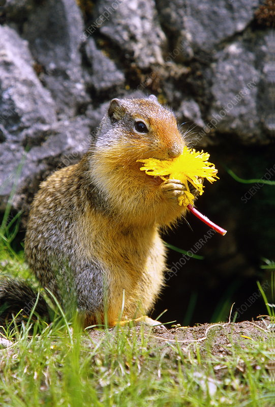 Columbian ground squirrel eating