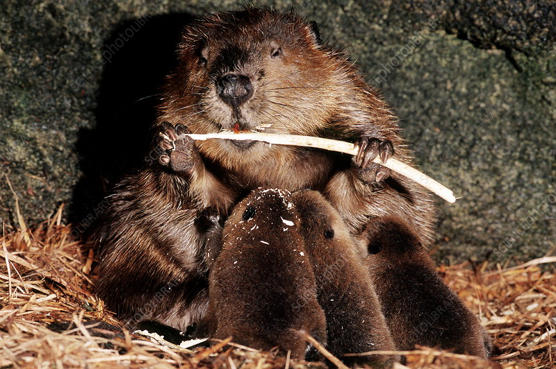 Beaver nursing kits