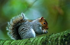 Grey squirrel eating