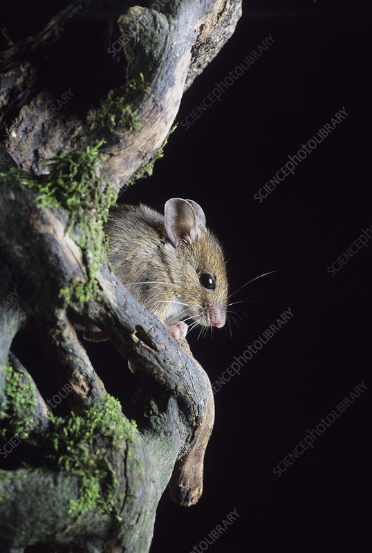 Woodmouse emerging from a rotten tree