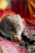 Bank vole eating a nut