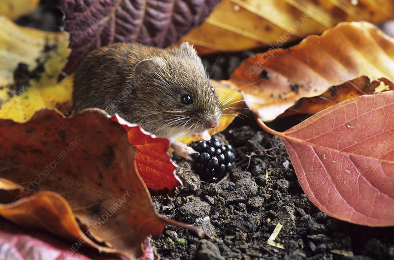 Bank vole eating a blackberry