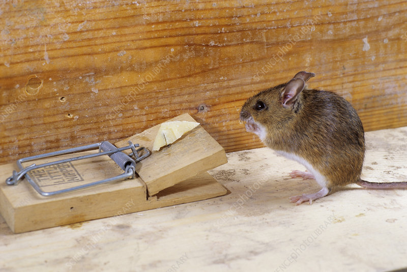 Mouse by a mousetrap