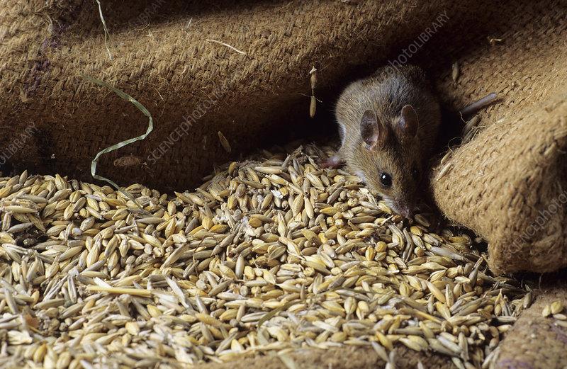 Мыши грызут