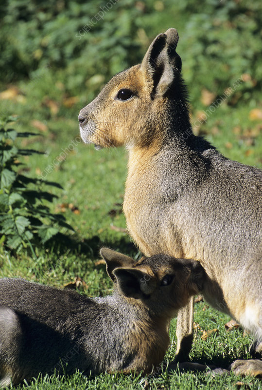 Patagonian cavy and young